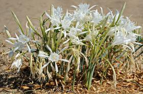 The Sea daffodil is a stunning flower which appears in Chrissi island beaches in late summer.