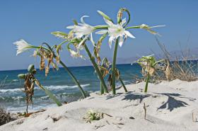 The white sand lily (scient. Pancratium maritimum), also known as lily of Knossos, is a charming plant that overwhelms the dunes of Crete from August to October. It insists on blooming for thousands of years and it is known from ancient iconographies